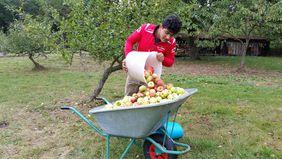 und bei der Apfelernte